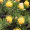 Protea, Cape Point, South Africa