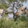 Giraffes in the Okavango Delta: Enjoying a nice snack.