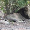 Lions, Sandibe Concession, Botswana: Enjoying the shade, while studying a very nervous herd of impala