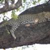 Leopard, Sandibe Concession, Botswana: A beautiful female resting on a limb of a shady tree