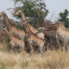 Giraffe, Sandibe Concession, Botswana: Only rarely are they this tightly clustered