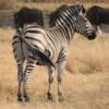 Zebra, Sandibe Concession, Botswana