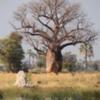 Baobob tree, Sandibe Concession, Botswana