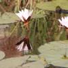Water lilies, Okavango Delta, Sandibe Concession, Botswana