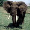 Elephant, Lake Manyara National Park, Tanzania: I love how close you can get to the elephants.  Those big African shaped ears were fanning away!