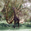 Giraffe, Lake Manyara National Park, Tanzania: This one was very well camouflaged.  The value of their spotted skin becomes apparent