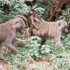 Baboons, Lake Manyara National Park, Tanzania