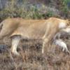Serengetti National Park, Tanzania: Lioness