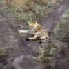 Serengeti National Park, Tanzania: Lioness blocking our road.