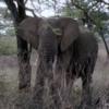 Serengeti National Park, Tanzania: Elephant