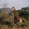 Serengeti National Park, Tanzania: Giraffe