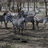 Serengeti National Park, Tanzania: Zebra