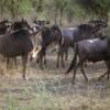 Serengeti National Park, Tanzania: Wildebeest