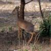 Serengeti National Park, Tanzania: Dik-dik, one of the smaller deer species in Africa