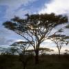 Serengeti National Park, Tanzania: Acacia trees silhouetted at sunrise