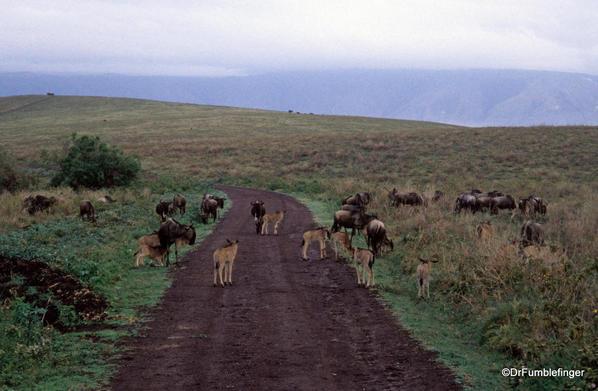 1999 Tanzania 007. Ngorongoro Crater, wildebest