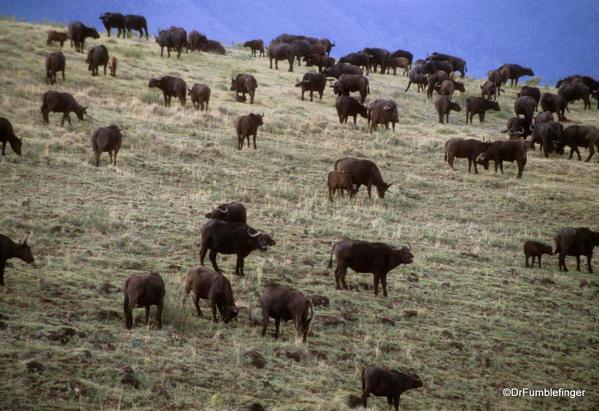 1999 Tanzania 012. Ngorongoro Crater buffalo