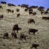 Buffalo herd, Ngorongoro Crater, Tanzania
