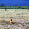 Lioness watching zebra herd, Ngorongoro Crater, Tanzania: She patiently watched for weakness, while the zebra went running by