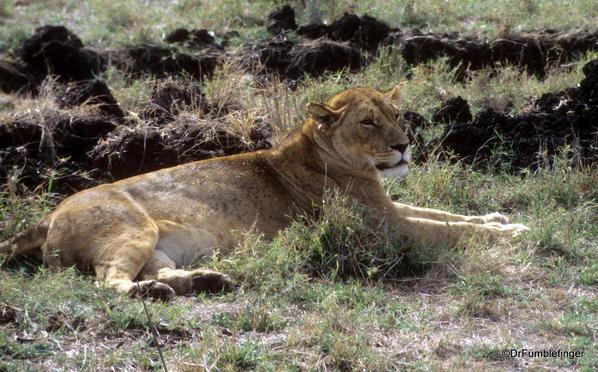 1999 Tanzania 020. Lion in Ngorongoro Crater