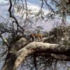 Leopard in a tree Ngorongoro Crater, Tanzania