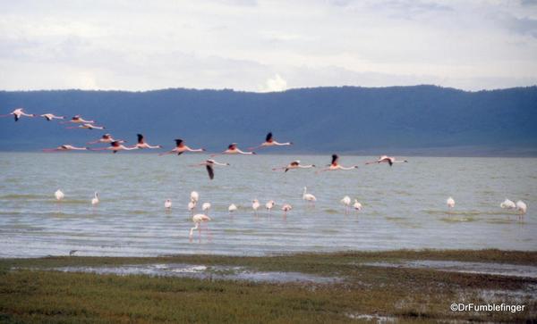 1999 Tanzania 041. Ngorongoro Crater. Flamingo
