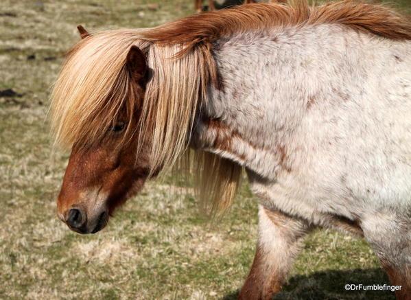 Icelandic horses, South Iceland