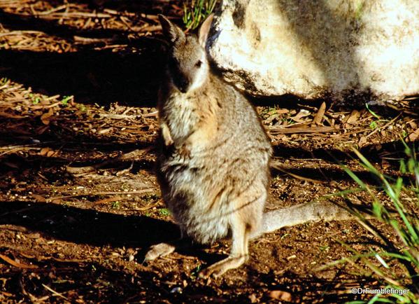 025 October 05 Kangaroo Island, Tamar wallaby,