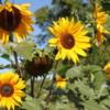 Sunflowers, Cranbrook, British Columbia