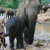 Mother, baby and mahout, Pinnawala, Sri Lanka