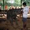 Feeding baby elephants, Pinnawala Elephant Orphanage, Sri Lanka
