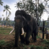 Pinnawala Elephant Orphanage, Sri Lanka: Raja, a large bull blinded by shotgun pellets, is cared for in the orphanage. Only around 10% of Sri Lankan elephants develop tusks.