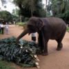 Pinnawala Elephant Orphanage, Sri Lanka: A working elephant preparing to carry her dinner.