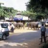 Pinnawala Elephant Orphanage, Sri Lanka: Elephants on their way to the river to bathe!  Don't get in their way!