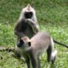 Anuradhapura -- Gray Langur Monkies: My kindred spirits. Fun, playful, spirited