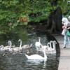 Feeding the swans, St. Stephens Green, Dublin, Ireland