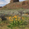 Central Washington State - the Channeled Scablands: A beautiful stark landscape enhanced by the blooming flowers of Balsam Arrowroot.