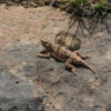 Yakima Rim Skyline Trail-- Horny Toad Lizard