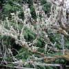 Moss on trees, Oysterville, Washington