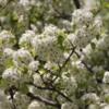 Chicago -- Cherry blossoms, Millennium Park