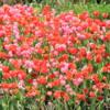 Chicago -- Tulips at Millennium Park