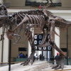 Chicago Field Museum -- Sue: One of the world's largest and most intact T Rex skeleton.