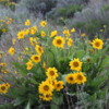 Steamboat Rock State Park -- Balsam Arrowroot