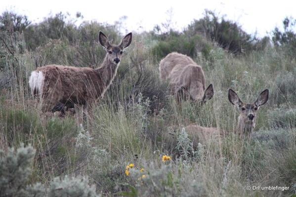 Steamboat Rock State Park -- Mule deer