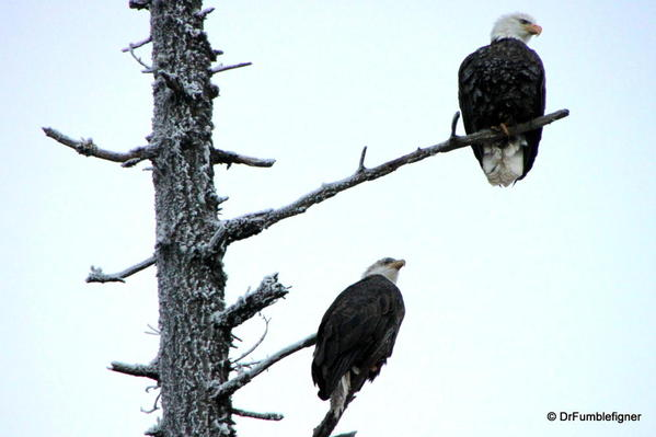 Winter 2010 042 Lake Couer d'Alene. Bald Eagle