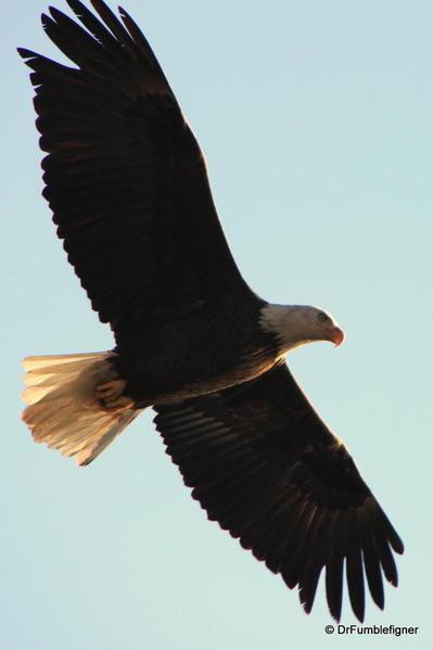 Winter 2010 006 Lake Couer d'Alene. Bald Eagle Card-001