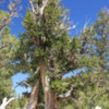 Great Basin National Park -- Bristlecone Pines: Bristlecone pines are long lived, and often die slowly.  They are the oldest living things on the planet, some almost 5000 years old.