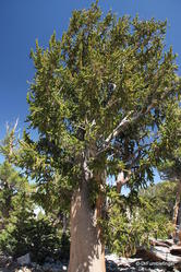 Great Basin National Park -- Bristlecone Pines