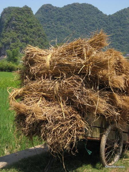 Farm cart with rice straw.