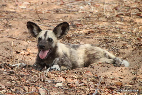 2013-48- December 06a Chobe-2011-288-African Wild Dogs